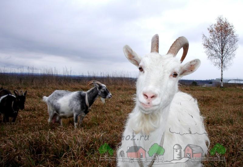 Белая хорошая продуктивная коза