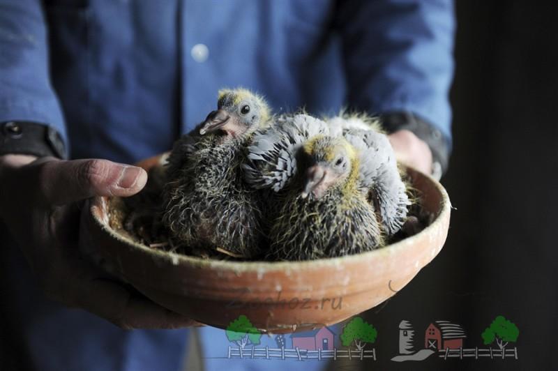 Вылупившиеся птенцы голубки