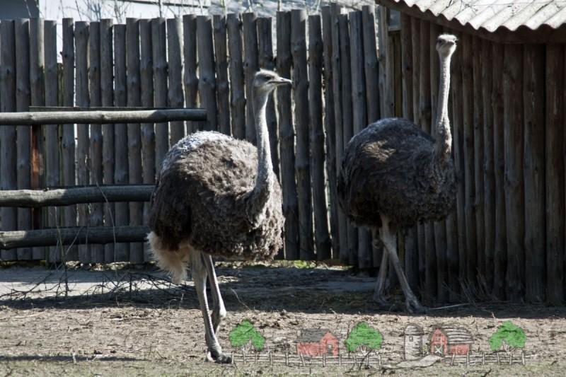 Пара страусов в загоне