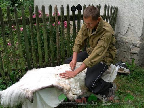 Как выделать шкуру козы в домашних условиях