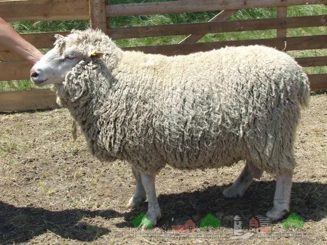Овца прекос крупным планом