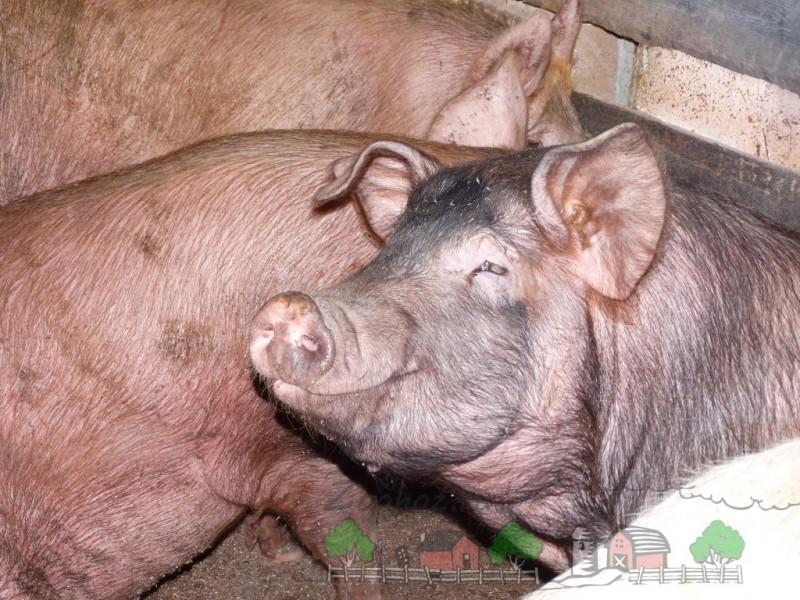 Улыбающийся свинтус - Фермерский сайт