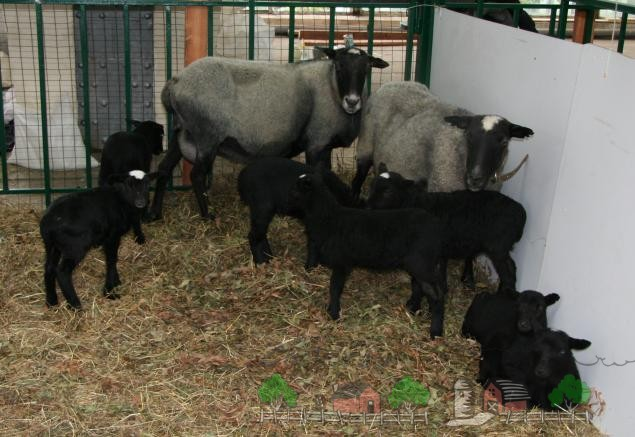 Обзор овец Романовской породы, их описание, отзывы и фото