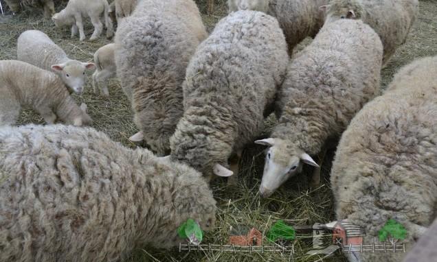 Куйбышевские овцы едят сено