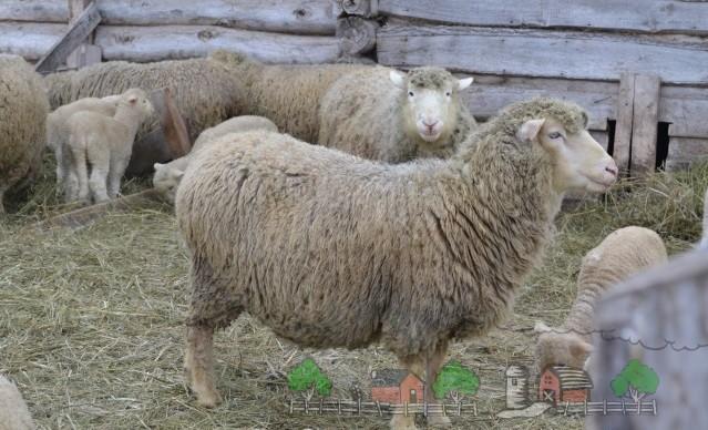 Овцы куйбышевской породы на ферме
