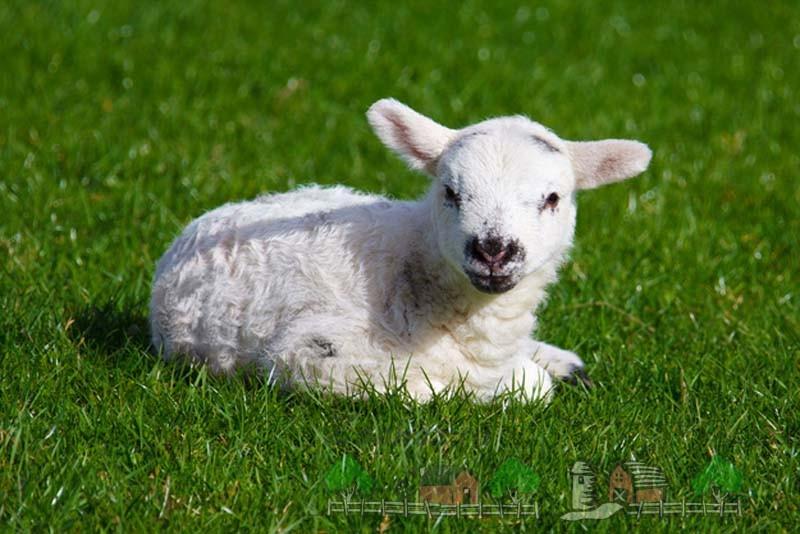 Красивый ягненок на зеленой траве