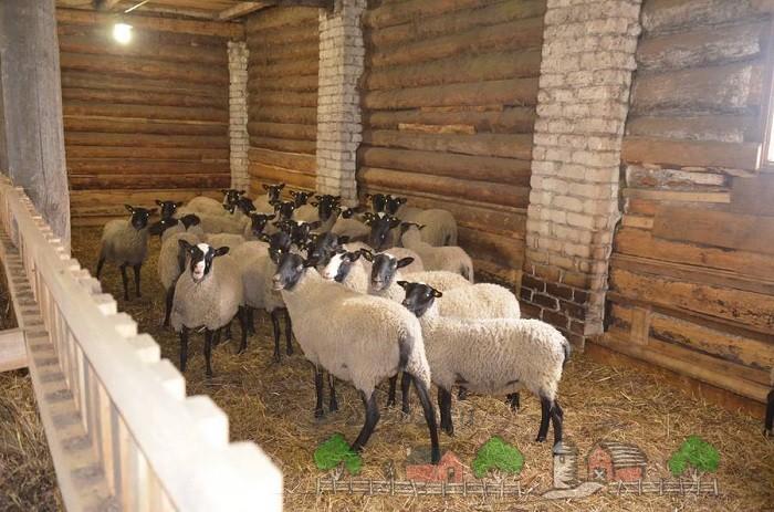 Подстриженные овечки в хлеву