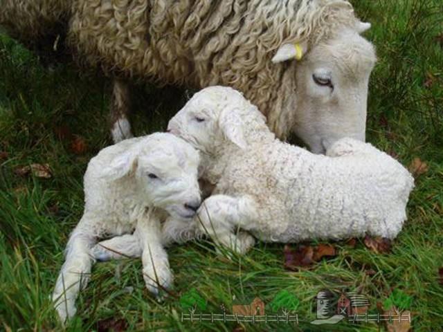 Овца с маленькими ягнятами