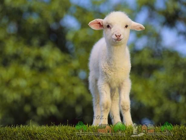 Маленький ягненок на зеленой траве