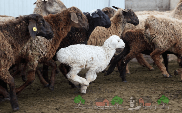 Стадо овец Эдильбаевского типа