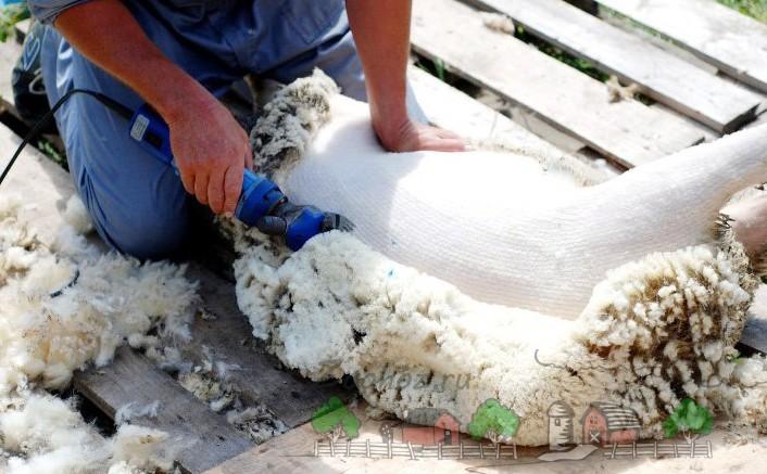Фермер стрижет овцу автоматической машинкой