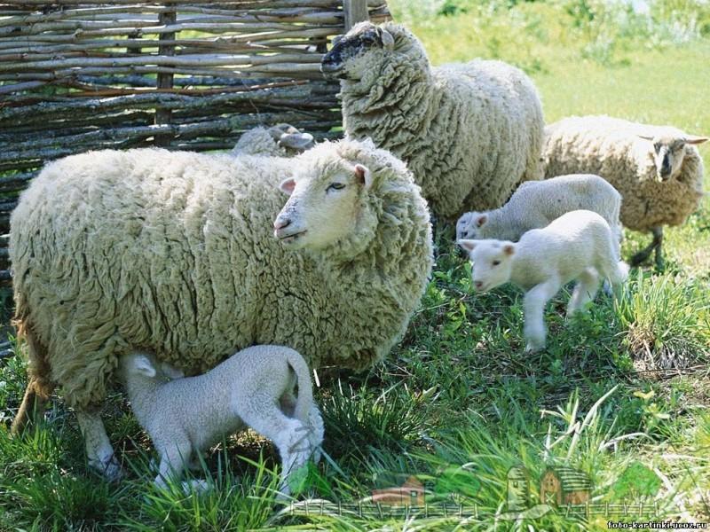 Взрослые овцы с ягнятами на выгуле