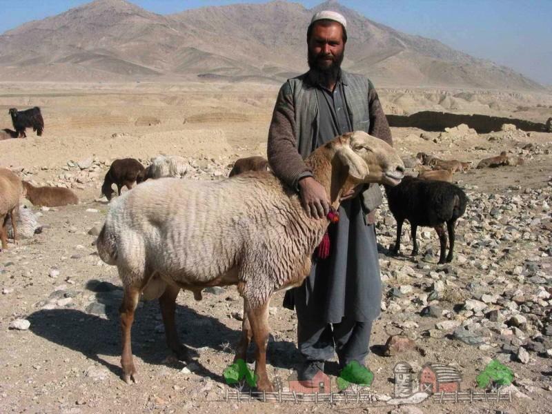 Курдючные овцы в Афганистане