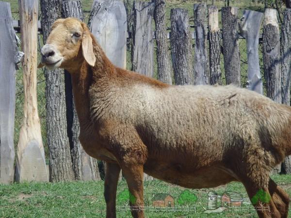 Бурая гиссарская мясная порода