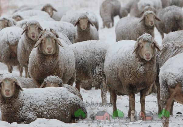 Стадо овец на выгуле в зимний период