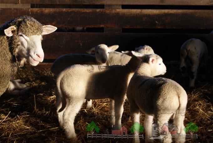 Овца с ягнятами в хлеву