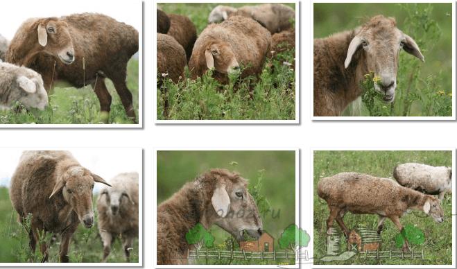 Коллаж эдильбаевских овец на прогулке