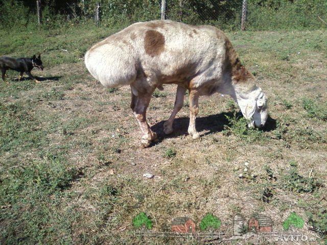 Гиссарская курдючная ест траву