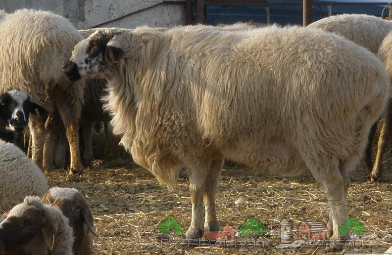 Гиссарская мясная овца в стаде
