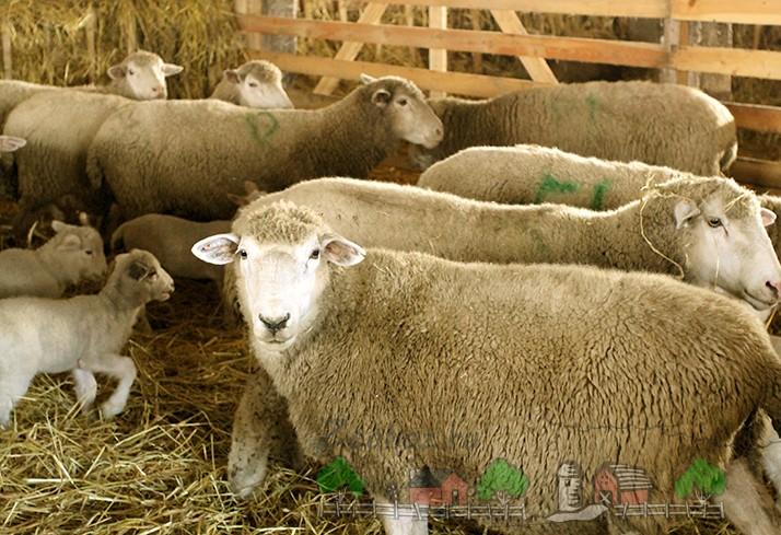 Куйбышевские овцы с потомством