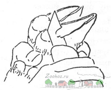 Обрезка копыт у коз: эффективные методы и видео