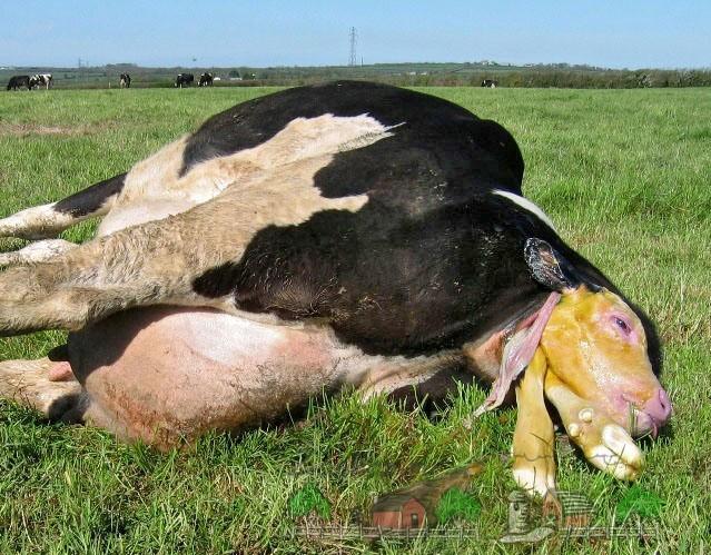Естественное рождение теленка