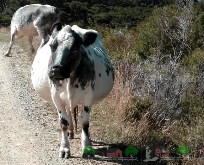 Беременная корова на выпасе
