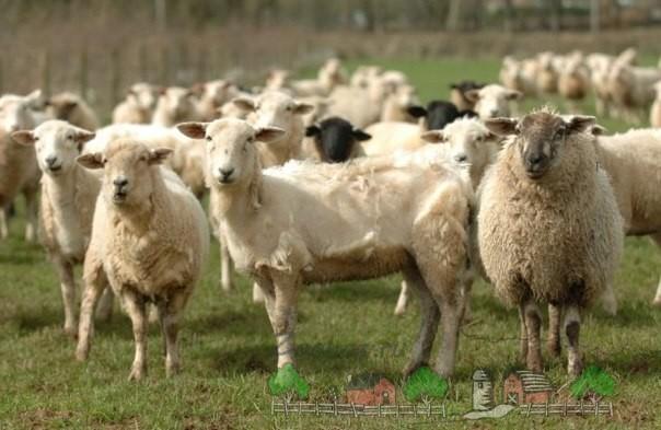 Овечье стадо после стрижки