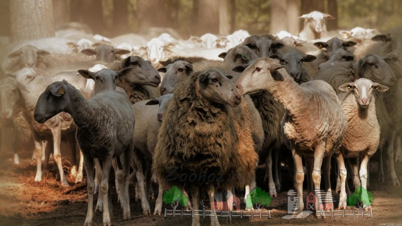 Овечье стадо в лесу