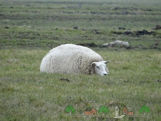 Овца дремлет на лугу