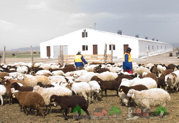 Овцы на небольшой ферме