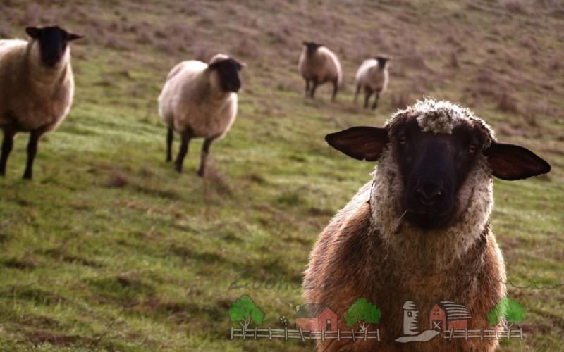 Овцы пасутся в Альпах