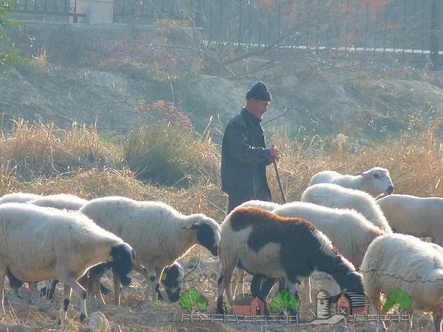 Пастух подгоняет стадо овец