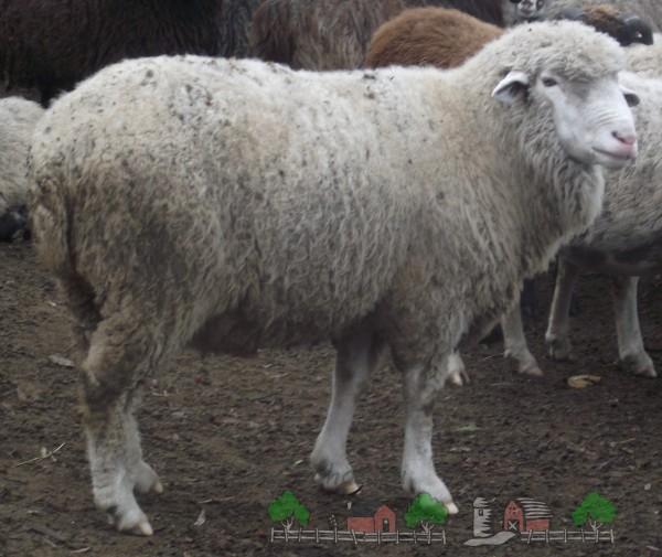 Прекос на выгуле со стадом