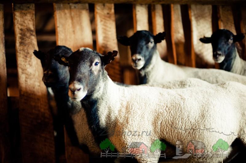 Романовские племенные овцы