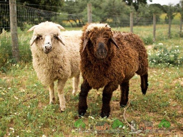 Сараджинский барашек и овца
