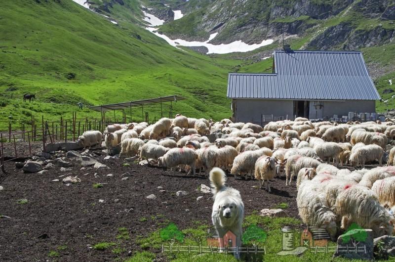 Стадо овец на пастбище в горах