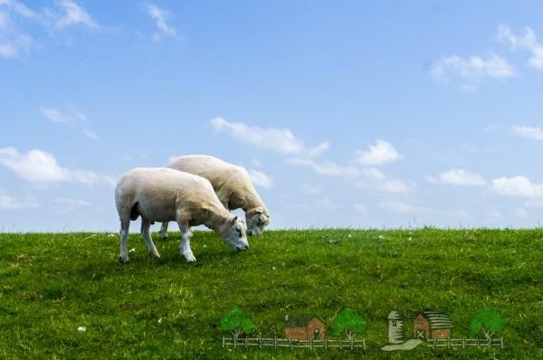 Стриженные овцы едят траву