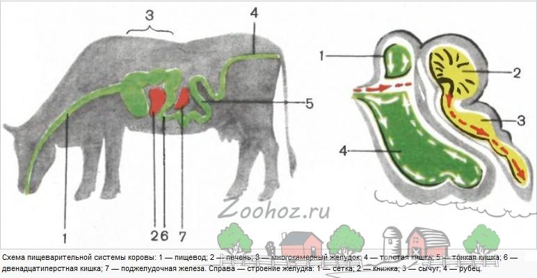 Строение коровьего пищевода и желудка