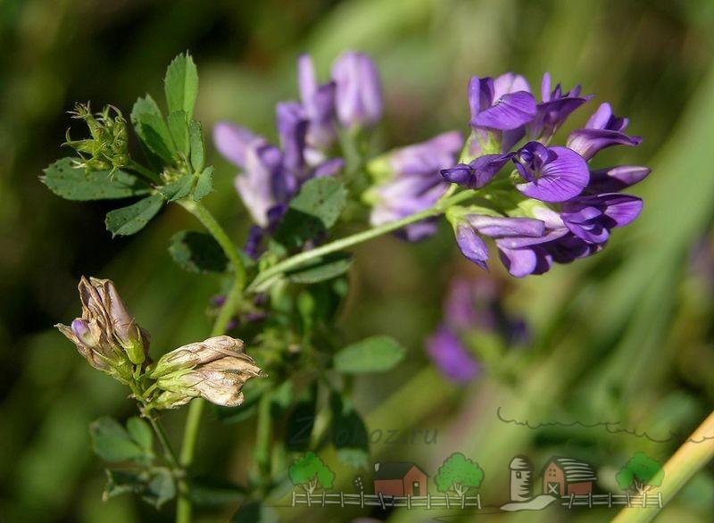 Цветок люцерны на пастбище