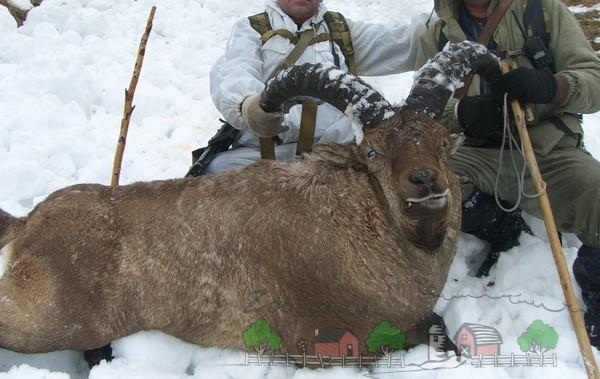 Обзор горных козлов на картинках и видео