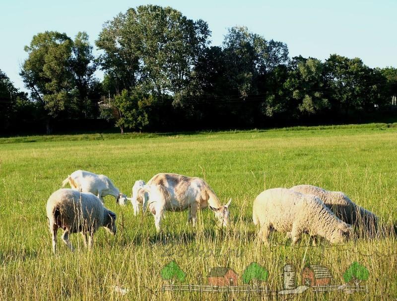 Выгул овец в солнечный день