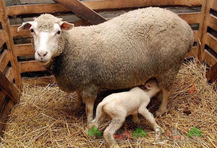 Ягненок сосет молоко у матери