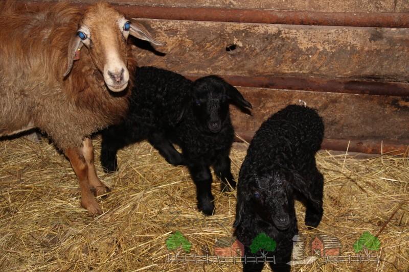 Эдильбаевская овца с ягнятами