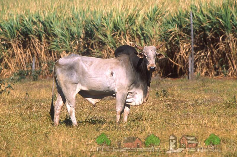 Зебу на полях Индии