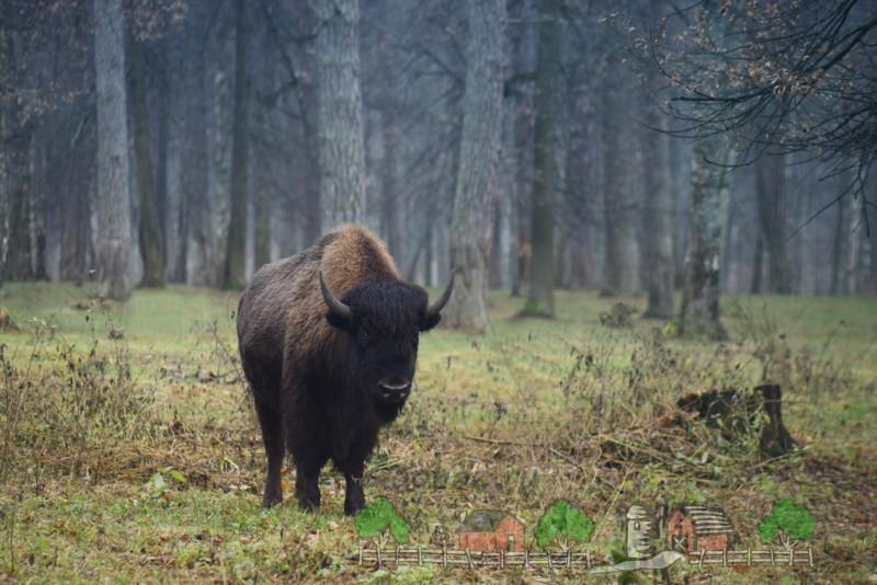 Зубробизон гуляет в лесу