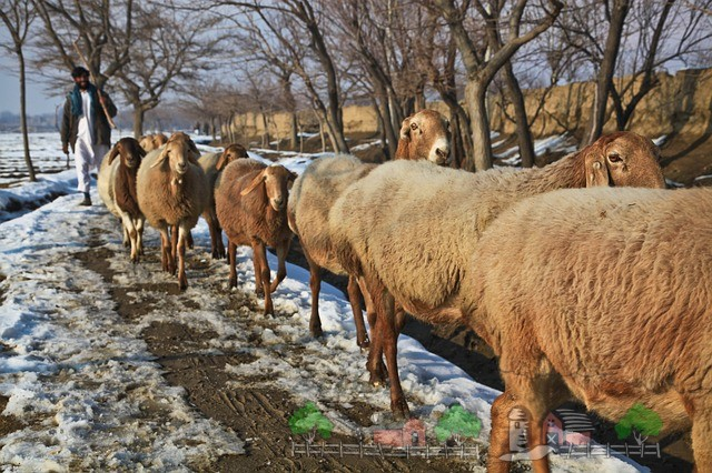 Выгул овец в зимний период