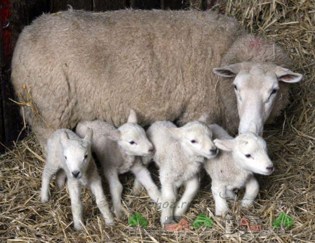 Овца с малышами в хлеву