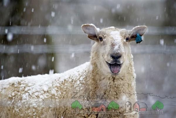 Белая веселая овца под снегом