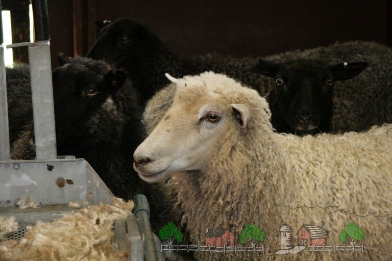 Белая овца на фоне остального стада